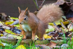 KMH_3683 (Island Snapper) Tags: redsquirrel iow wight shanklin
