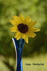 Happy Thanksgiving (deanrr) Tags: happythanksgiving holiday sunflower vase bokeh bluevase alabama morgancountyalabama nature outdoor