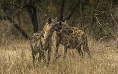 Sister Act (philnewton928) Tags: spottedhyena hyena crocutacrocuta carnivore predator scavenger mammal animal animalplanet wild wildlife nature natural satara kruger krugernationalpark africa southafrica outdoor outdoors safari nikon nikond7200 d7200