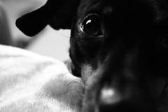 IMG_1114 (elBompy) Tags: nice foto forlife life forlive pet dog pinscher mypet mydog photo eyes elder colombia day
