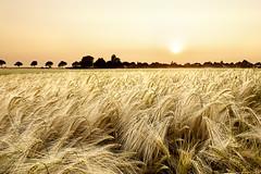 Hazy Corn Sunset (parkerbernd) Tags: hazy corn sunset cornfield ears harvest agriculture farming village sulsdorf alley trees fehmarn island photo merge photoshop summer lumix gx1 baltic sea