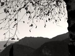 Armonia (alexandrosmccarthy) Tags: betulla luce controluce biancoenero alberi allegria foglie leggerezza particolari canale giudicarie tranquillit crepuscolo armonia alberiinbiancoenero pausa alberiininverno inverno alberispogli sospiro trentino light blackandwhite winter treesinwinter armony