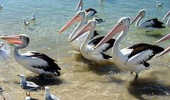 Keeping an Eye on Him (Jocey K) Tags: sky seagulls pelicans water birds river sand labrador australia queensland surfersparadise goldcoast triptoqueenslandbrisbane