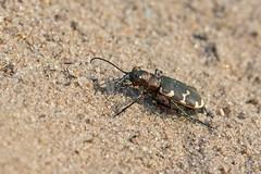 Dünen-Sandlaufkäfer auf einer Sandfläche in der Heide (hardi_630) Tags: natur beetle käfer naturschutzgebiet wilsede wilsederberg cicindelahybrida northerndunetigerbeetle dünensandlaufkäfer