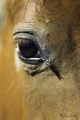 (evelavoiephotographies) Tags: summer portrait horse macro eye face look canon insect cheval eyes skin 100mm yeux poil roux insecte mouche peau ete visage regard canon6d