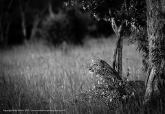 Can you see me? (markrellison) Tags: africa wild blackandwhite monochrome animal cat kenya wildlife hunting leopard bigcat flies f56 stalking iso1600 lightroom bigfive masaimara eastafrica buzzing africanleopard 420mm 1800sec spottycat lrcc ef300mmf28lisusm14x canoneos5dmarkiii maranorthconservancy lightroomcc