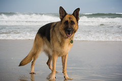 Ruby pt. 3 (Lynn Stevens) Tags: usa dog pet cute beach water nikon waves north german carolina outer banks shepard frisco doge d7100