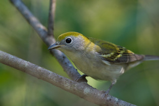 Chestnut-Sided Warbler (Another Look)