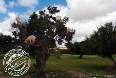 árbol de argan - zona essaouira (sahatours) Tags: voyage africa viaje landscape nikon morocco maroc viagem marocco marruecos viaggio marrocos travelphotography argan travelphoto