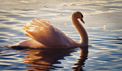 Energized (Caleb4Ever) Tags: light bird nature water swan wings energy feathers goldenlight caleb4ever