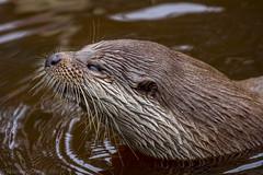 Fischotter (stegi_at) Tags: austria sterreich otter niedersterreich waldviertel unterwasserwelt fischotter schrems unterwasserreich