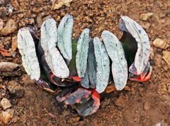 Haworthia 25 (scenescape-partners) Tags: cactus india plant succulent aloe nursery lithops euphorbia variegated agave haworthia cycas rare sansevieria gasteria zamia jatropha scenescape caudiciform monstrose encphalartos