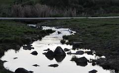 an Australian ibis looks for his evening meal in Ginninderra Creek (spelio) Tags: trees reflection green bird water grass creek outdoors evening view feeding walk wildlife oct australia canberra ck stroll act pleasant riparian ginninderra ngunnawal casuarinas 2015 eucs 2913
