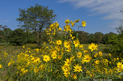 Weinberg King Prairie (kevin-palmer) Tags: statepark morning blue autumn trees sky green fall yellow illinois september augusta wildflowers prairie blooming kevinpalmer tamron1750mmf28 sawtoothsunflower weinbergking pentaxk5