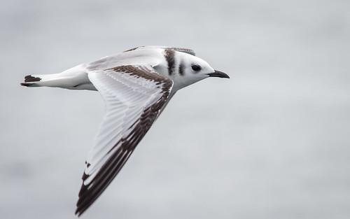 gull seabird pelagic