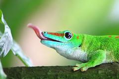 Grosser Madagaskar Taggecko (Phelsuma madagascariensis grandis) (ISO 69) Tags: elements
