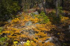 DSCF3237 (jiggumbob) Tags: autumn fall gold ferns washingtonstate larch ingalls alpinelakeswilderness larchtree ingallswaytrail