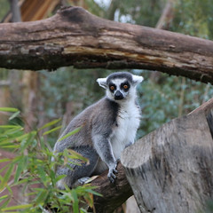 Lmurien (Carahiah) Tags: nature animaux rhodes parc saintecroix lmurien parcanimalier parcanimalierdesaintecroix