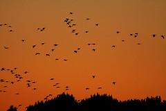 Cranes (hsp 60) Tags: crane kranich mecklenburgischeseenplatte mritznationalpark