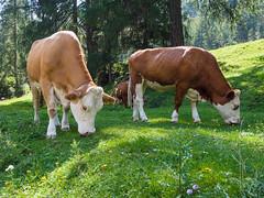 Bie mleka (Slobodan Siridanski) Tags: 2015 krave mleko