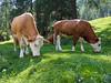 Biće mleka (Slobodan Siridžanski) Tags: 2015 krave mleko