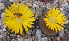 Episyrphus balteatus on Lithops flower (candiru) Tags: lithops episyrphusbalteatus