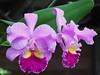 Orquídeas cultivadas en la Universidad EAFIT (Nivaldo de Jesus Arenas Correa) Tags: flores flower colombia phalaenopsis vanda cattleya dendrobium oncidium orquídeas medellin miltonia odontoglossum cymbidium antioquia orquídea vainilla cranichis chloraea cyclopogon orchidaceaeepífitas