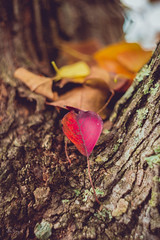 Autumn Love (Benjamin Coy) Tags: flowers autumn red tree nature leaves leaf moss bokeh conway helios 52mm seasonschange