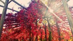 Kampüsün en kırmızı bölgesi ^^ #selcuk #universitesi #kampus #sonbahar #güz #fall #red #leaves (akn.fatma) Tags: red fall leaves kampus selcuk universitesi sonbahar güz