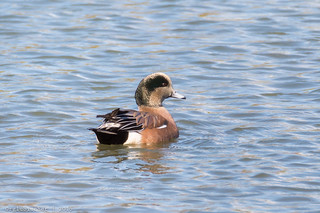 American Wigeon at Takanassee Lake - 4