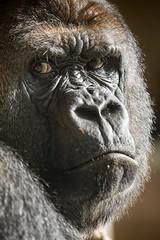 2015-11-12-11h11m34.BL7R9625 (A.J. Haverkamp) Tags: zoo rotterdam blijdorp gorilla dierentuin diergaardeblijdorp westelijkelaaglandgorilla bokito httpwwwdiergaardeblijdorpnl canonef100400mmf4556lisusmlens dob14031996 pobberlingermany