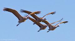 Wingtip to Wingtip (Doug Scobel) Tags: sandhill crane grus canadensis wading bird wildlife nature