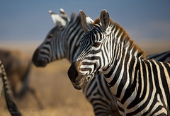 Decidedly Dashing - Near  0644 (Dr DAD (Daniel A D'Auria MD)) Tags: tanzania stripes serengeti mammals zebras childrensbooks hoofbeats horsefamily equuszebra thegreatmigration animalsofafrica march2013 childrenswildlifebooksbydanieldauriamd drdadbookscom march2014 whenyouhearhoofbeats zebrasoftheserengeti lyricalrhyme zebrasofafrica rhymingprose september2015