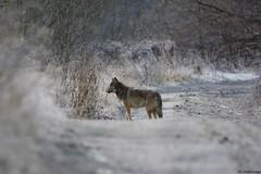 Wilk ( Canis lupus ) WOLF (Fotografia przyrodnicza - moje hobby. Zapraszam...) Tags: wild nature nikon wolf natura gt fotografia nikkor tamron lupus zima vc samica poranek przyroda wilk canis 2015 wilki przy grudzie d7100 drobot triopo samotna 150600 przyrodnicza mrony ukadz