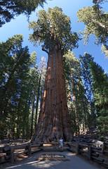 Drzewo Generała Shermana | General Sherman Tree