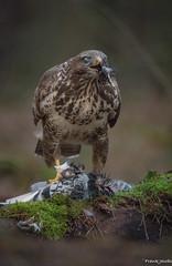 Njamie (jacobsfrank) Tags: bird belgium belgie pigeon dove buzzard birdofprey vogel duif kalmthout buizerd roofvogel frlickr frankjacobs sigma150600 jacobsfrank nikond750