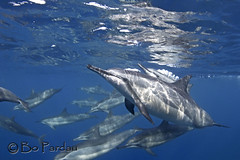 Dolphins on the move (bodiver) Tags: ocean blue reflection hawaii ambientlight wideangle snorkeling freediving dolphins fins naia