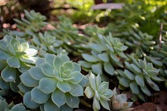 Echeverias (alexispadilla) Tags: california travel nature garden berkeley bayarea succulents echeveria universityofcaliforniabotanicalgardenatberkeley