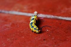 IMG_0013 (Lisbeth wasp) Tags: gusano