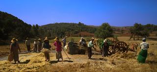 La moisson en Birmanie  autre cadrage conseillé par Béa mon ciel Bleu