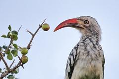 Red-billed Hornbill (Tockus erythrorhynchus) Kruger Park, South Africa 2014 (Ricardo Bitran) Tags: tockuserythrorhynchus redbilledhornbill krugerpark southafrica birdsofkruger birdsofafrica birdsofsouthafrica