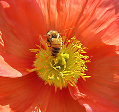 The Visitor (Mary Faith.) Tags: poppy bee insect macro orange