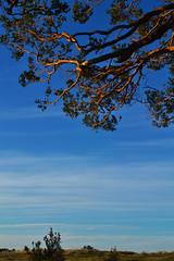 ''Despejado'' (Vctor Nez) Tags: cielo sky celeste despejado horizonte nubes rbol ramas puertomontt chile
