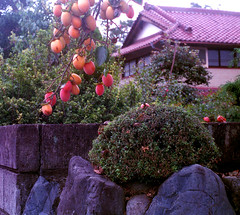 Persimmonwall (gracejonathan) Tags: fall praktica yashinon fujisuperiapremium400 persimmon rocks wall japan tokyo