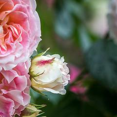 La rose (S@ndrine Nel) Tags: rose flora fleur flore flowers blossom bloom nelsandrine