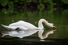 Swan in motion (andreasmally) Tags: swan pond schwan teich wasser wasservogel motion