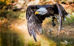Falknerei Bergisch Land 040 (flashlens_ek2012) Tags: adler eagle weiskopfseeadler