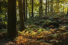 Farn in Herbstfrbung (thunderbird-72) Tags: allemagne autumn deutschland herbst morgen germany automne wald september light morning matin fort forest lumire saarland licht morgenlicht mettlach de