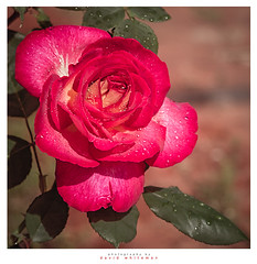 Name of the Rose (Dave Whiteman - AU) Tags: flowers petals red redrose rose spring things floral plants
