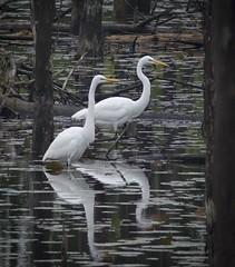 Great Egrets (gbglide) Tags: naturewildlifebirds egrets greategrets bicentennialtrail grandblanc michigan eborn bornholtz